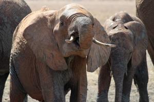 hoeveel eet een olifant per dag wikipedia